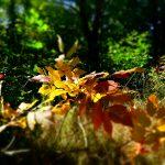 Leaves at Forks of the credit provincial park